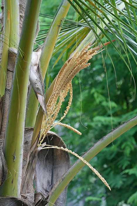 floarea de cocos
