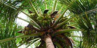 palmier-de-cocos