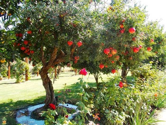 rodia-simbol-al-abundentei-bucatarie-moderna-arbore