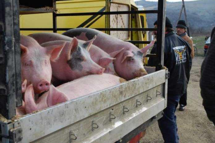 programul-carne-de-porc-ferme-porci