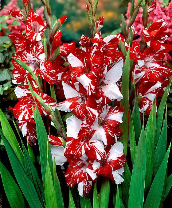gladiolele
