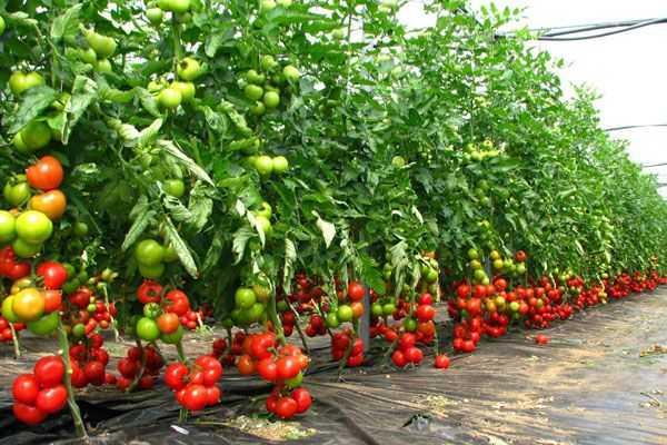 -tomate-spatii-protejate