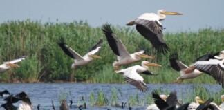 pelicani, Delta Dunării